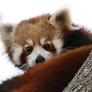 Red Panda by Kim Roper