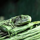 Sleepy LIzard... by John Gilluley