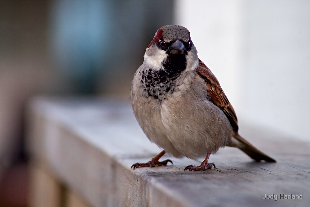 House Sparrow by Judy Harland