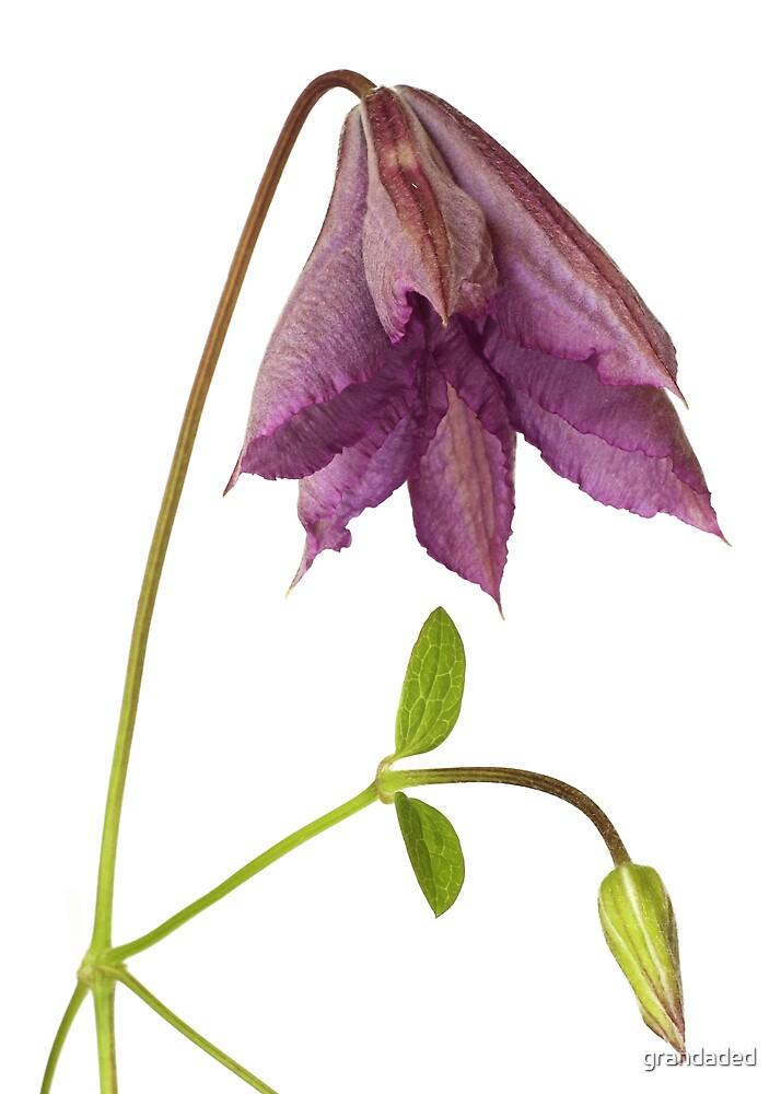 Clematis Flower by grandaded