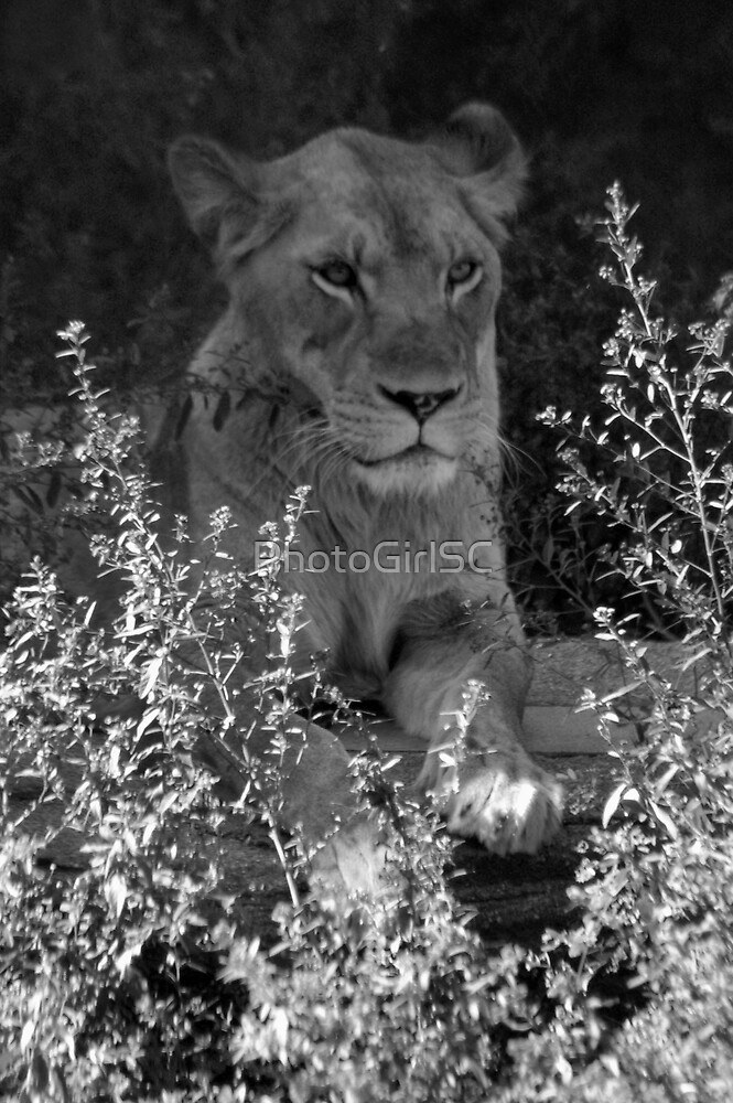 Lion by PhotoGirlSC