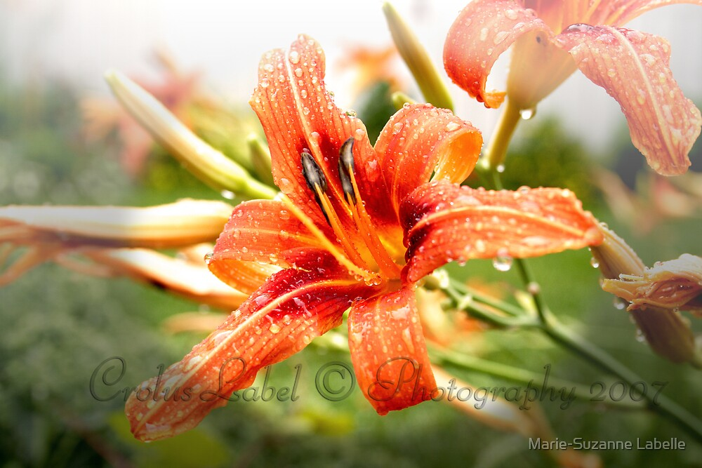 Wet Lily by Marie-Suzanne Labelle