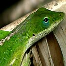 Hawaiian Tree Lizard by Marc Franzone
