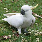 Sulphur-crested Cockatoo III by BevB