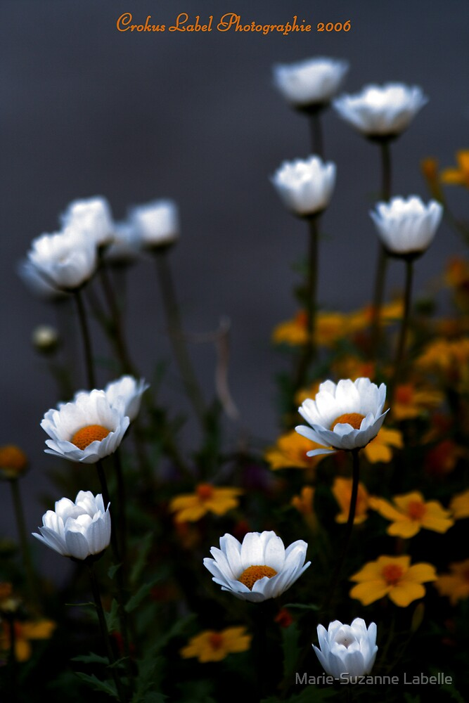 Marguerites by Marie-Suzanne Labelle