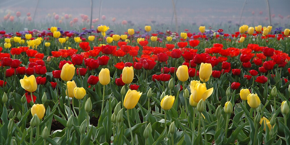 the colour of tulips by jim painter