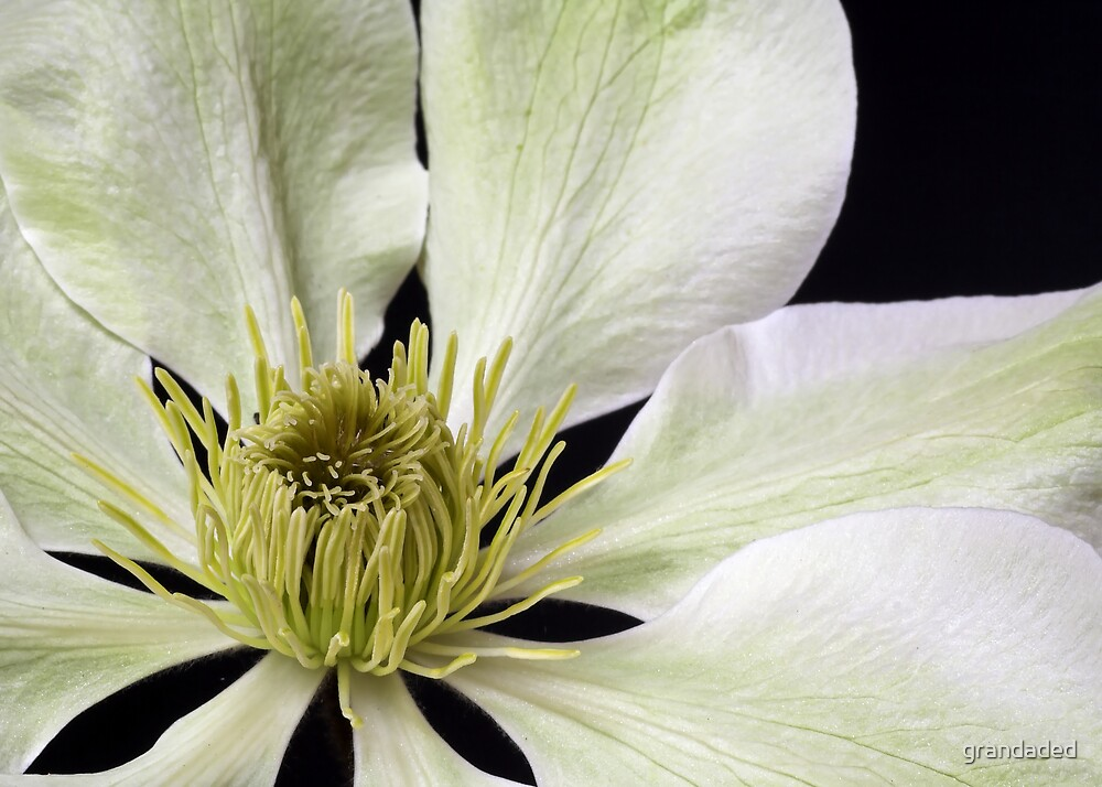 Clematis Flower Closeup by grandaded