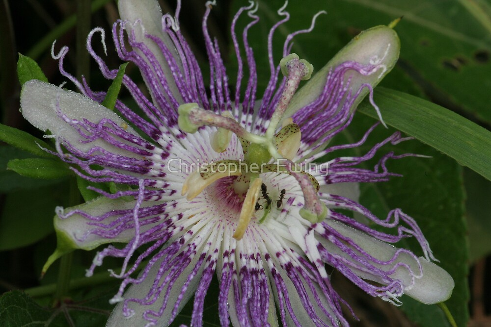 purple passion flower by Christopher  Ewing