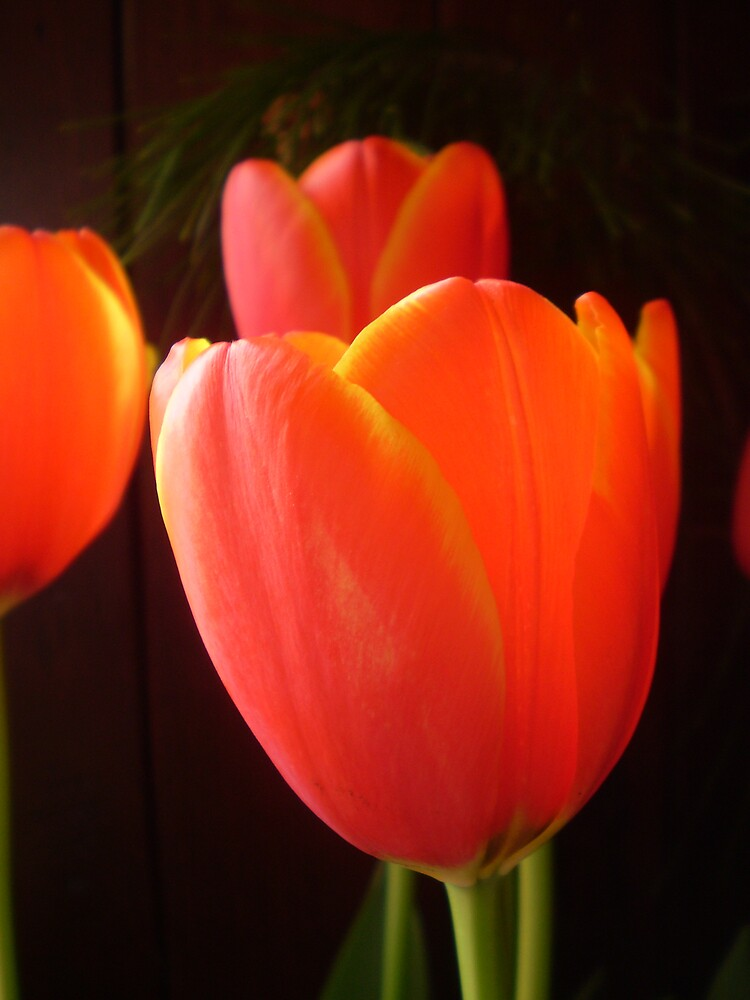 Tulip by suzyharris