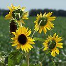sunflowers by froggz007