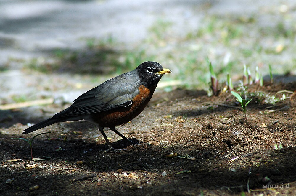 Meal hunting by snowbird
