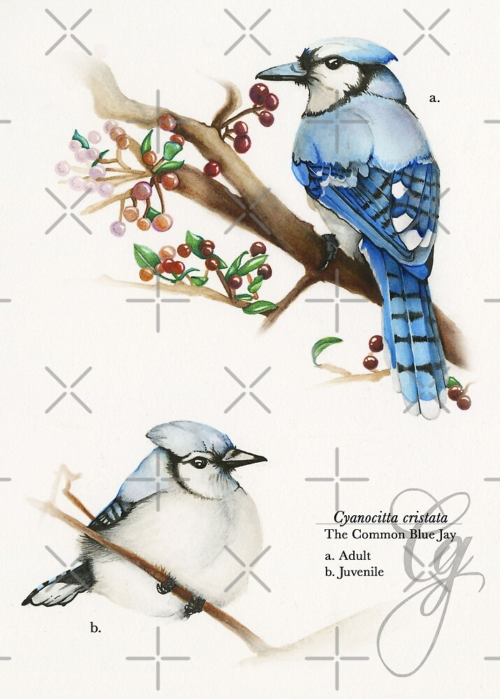 Blue Jays by Cassandra Graybeal