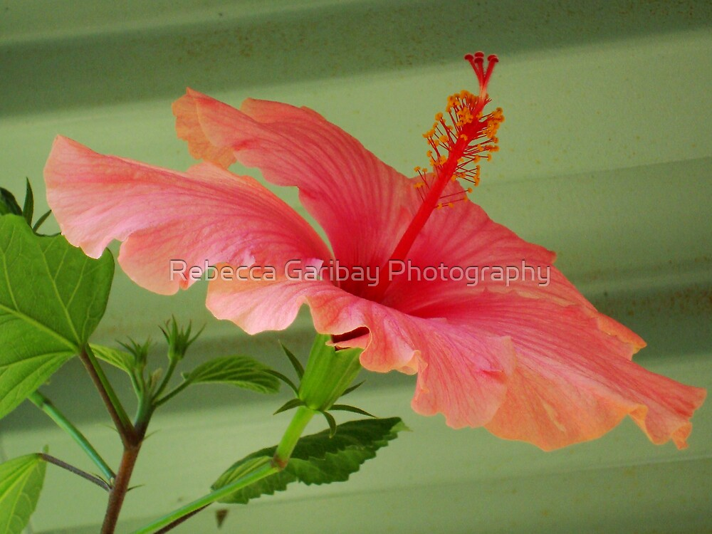 hibiscus by Rebecca Garibay Photography