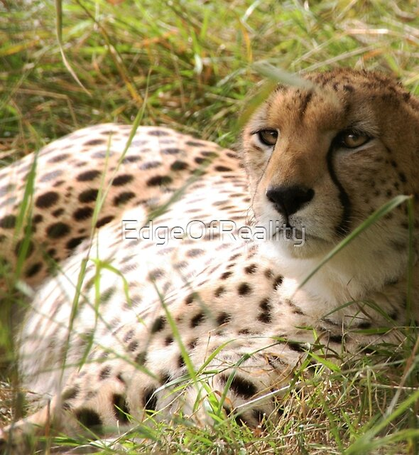 Cheetah by EdgeOfReality