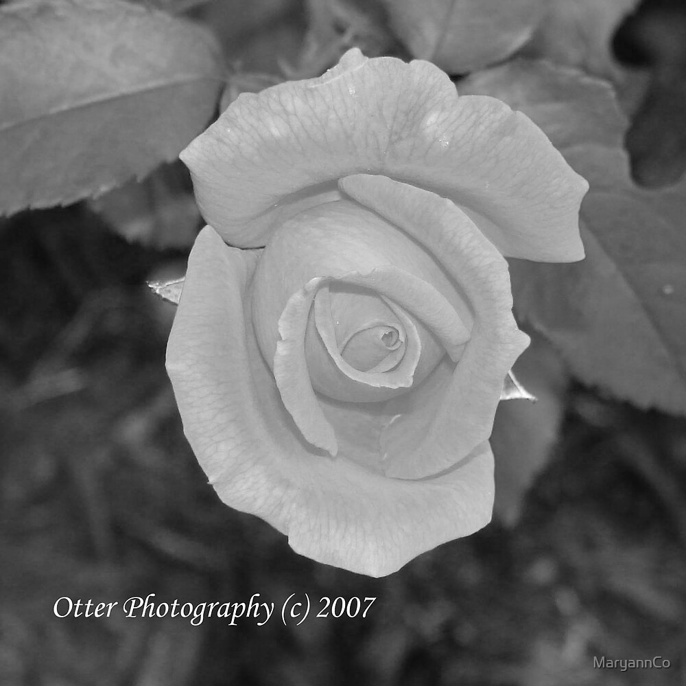 Black and white rose~ by MaryannCo