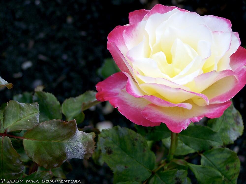 Rose in Queen Victoria's Garden by NinaB