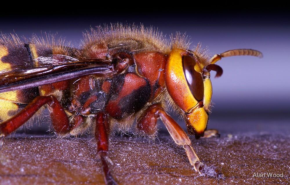 Hornet (Vespa crabro) by Alan Wood
