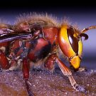 Hornet (Vespa crabro) by Alan Wood