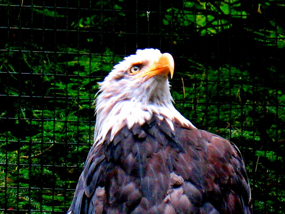 Eagle by Tommy Seibold