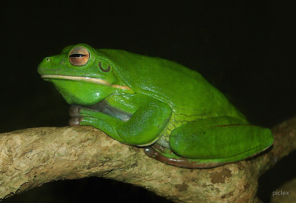 Tree frog by piclex