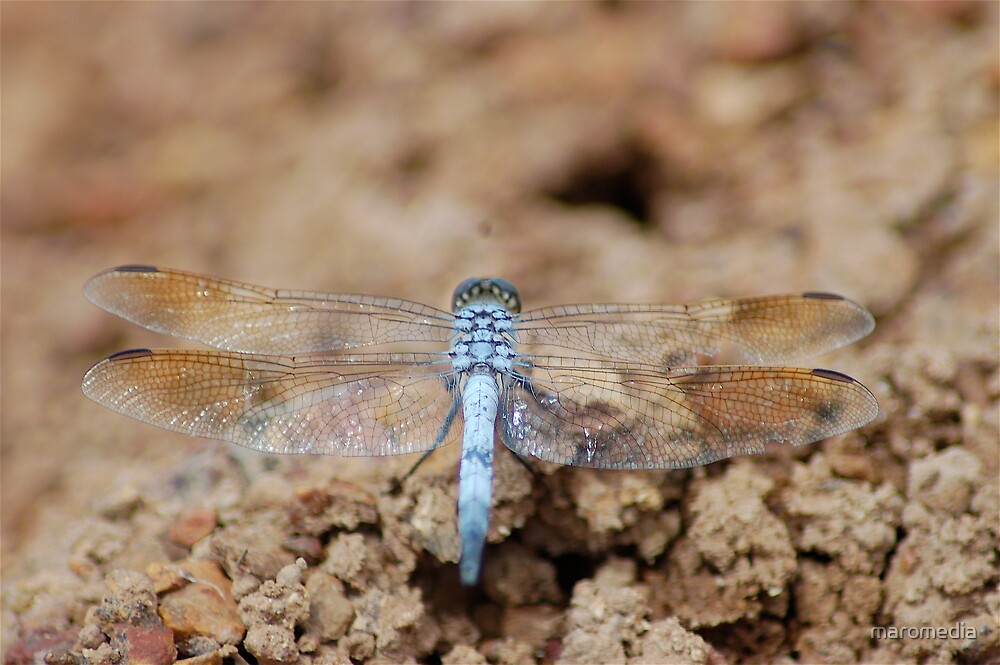 Dragonfly landed by maromedia