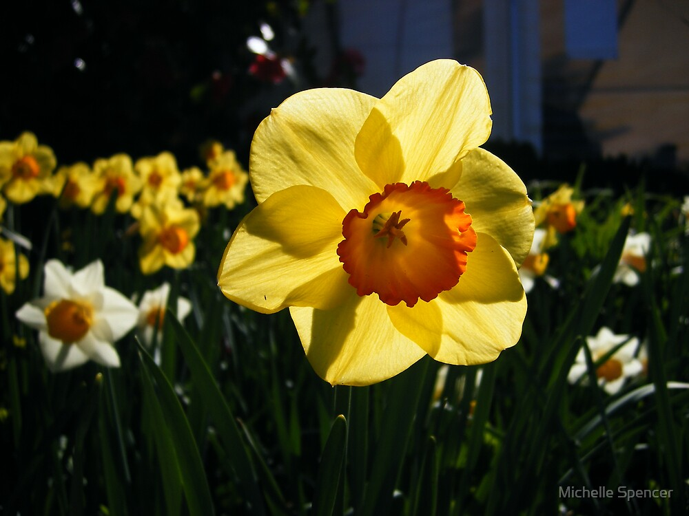 Lone daffodil at the tulip field by Michelle Spencer