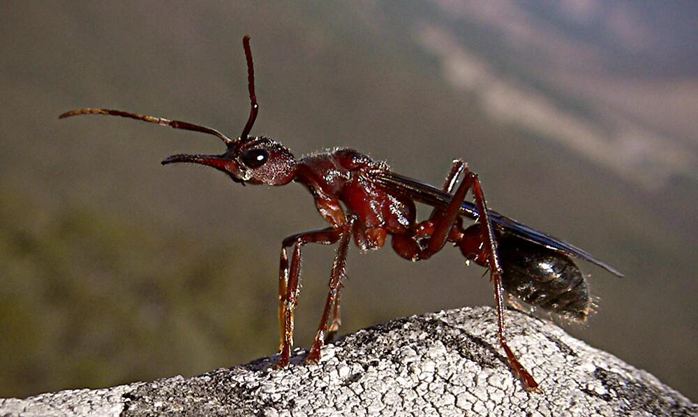 Australian Bull Ant by Steven  Sandner