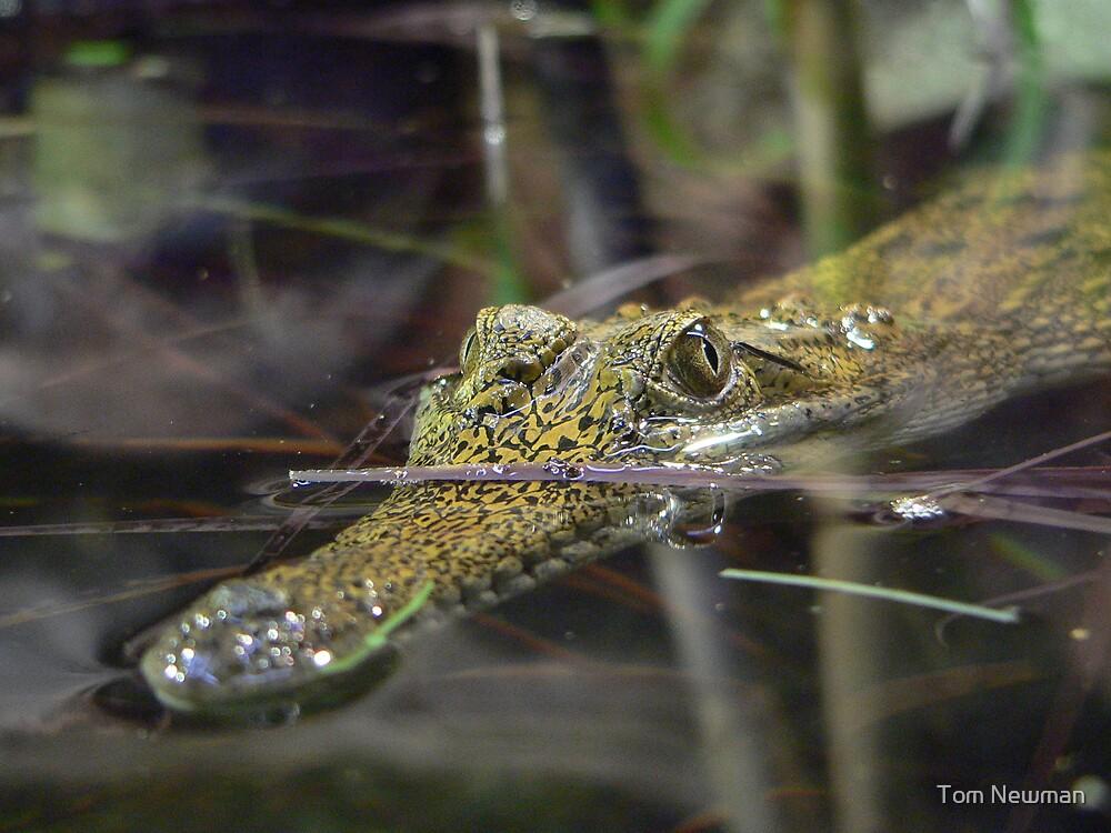 Baby Crocodile by Tom Newman