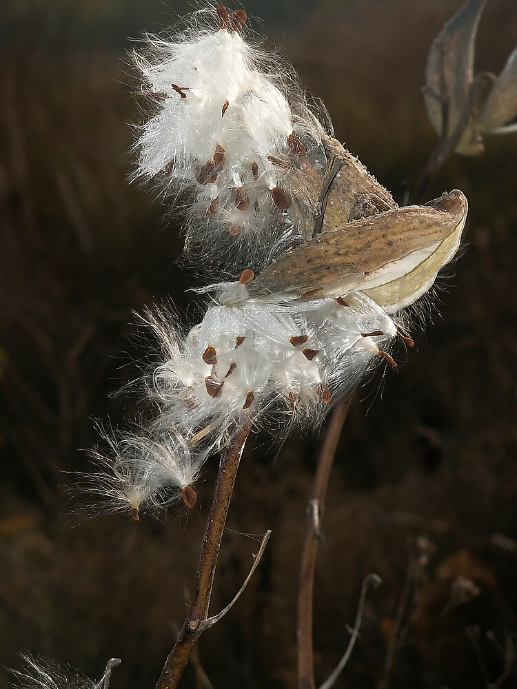 Seed pods  dispersing seeds by Plectrhelminthus