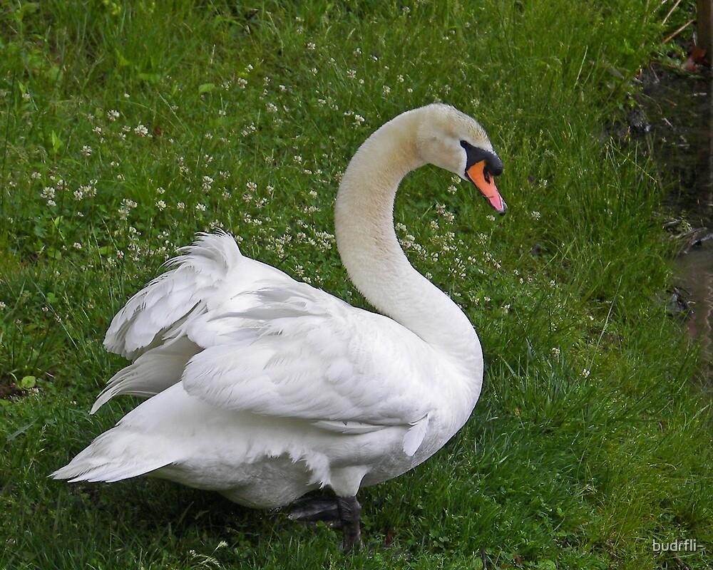 Swan by budrfli