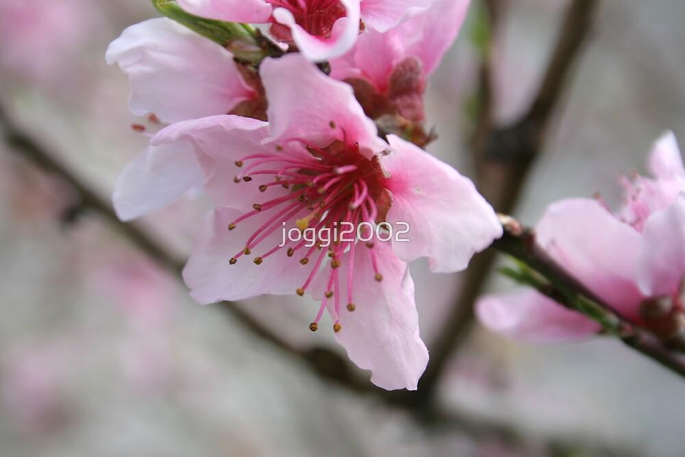 Plum Blossom by joggi2002