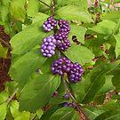 Beauty Berry by 1FANCY1