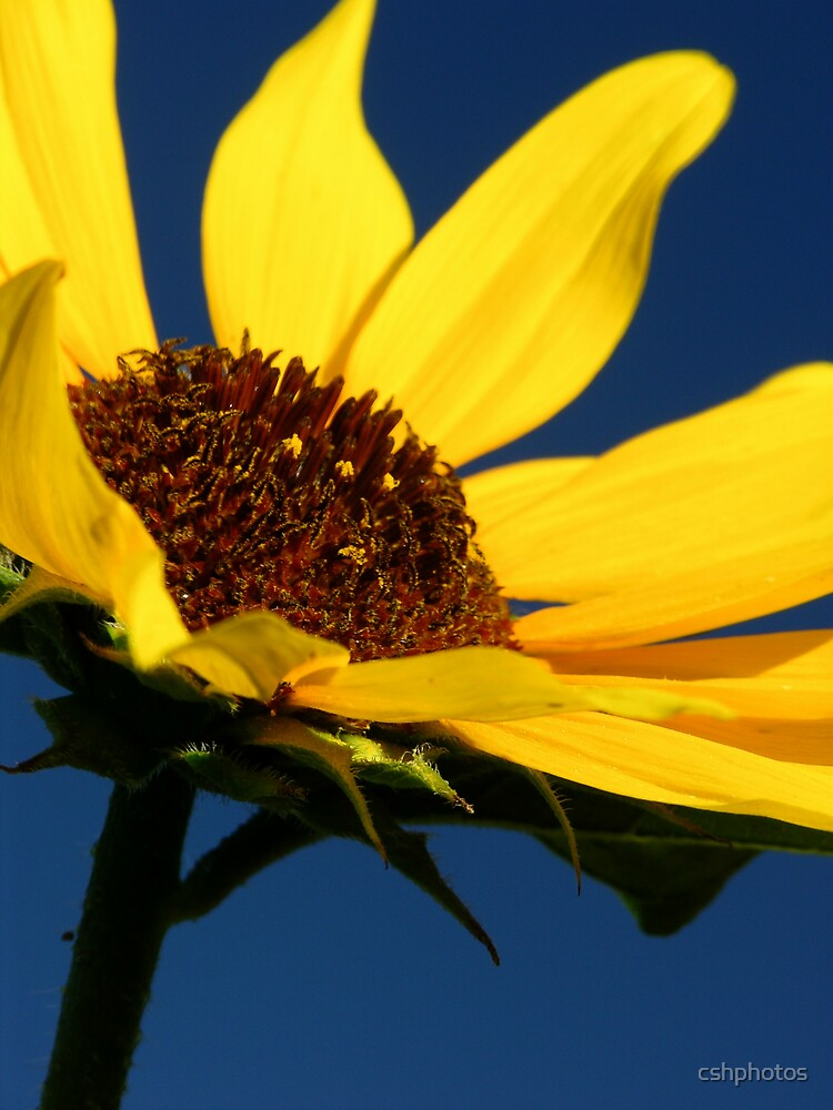 Sunflower by cshphotos