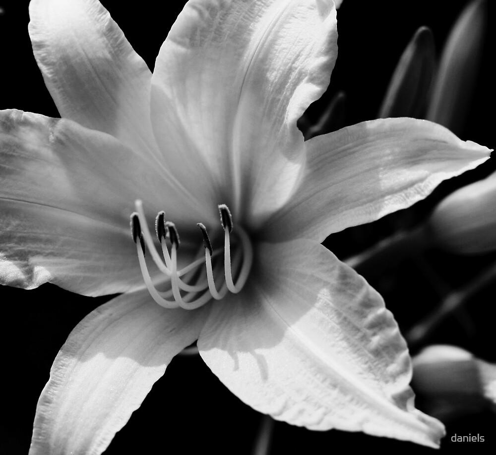 daylily_bw by daniels