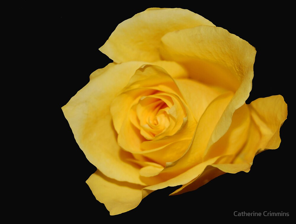 single rose by Catherine Crimmins