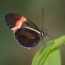 butterfly 5 by Els Steutel