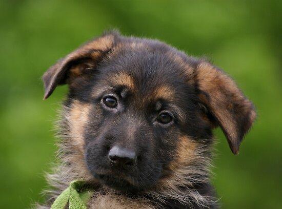 German Shepherd Puppy Close-up by Sandy Keeton
