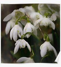 Simply Smudged Snowdrops Poster