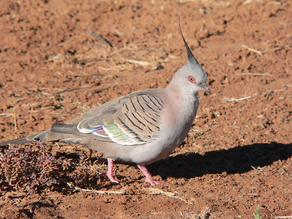 Crested Pigeon by Jacko