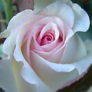 White & Pink Rose by jenndes
