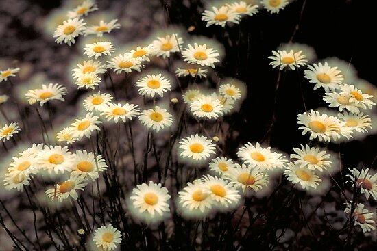 Double Daisy by markophoto