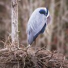 Resting Heron by NFirebaugh