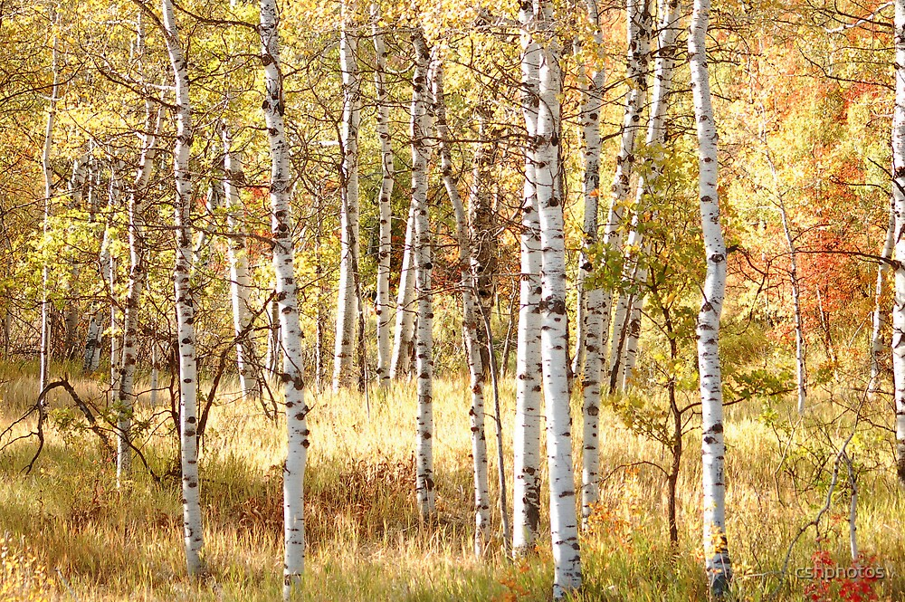 Aspen Forest by cshphotos