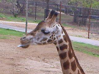 Awsome Giraffe by thethreeamigos777