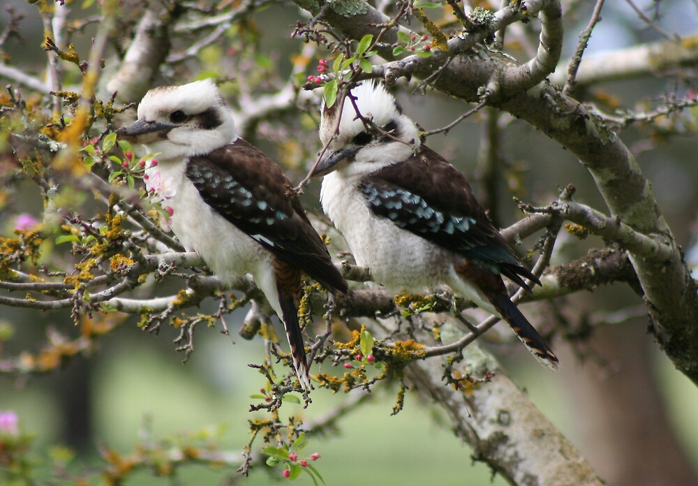 Pair of Kookaburras by wendels