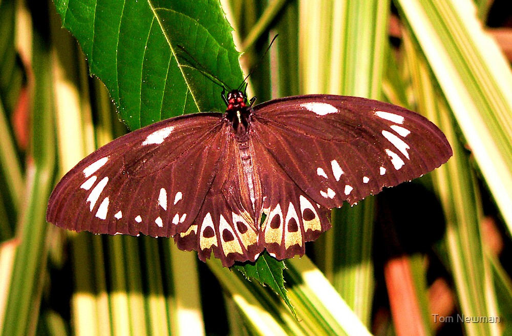 Orchid Butterfly IX by Tom Newman