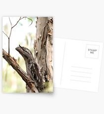 Tawny Frogmouth Postcards