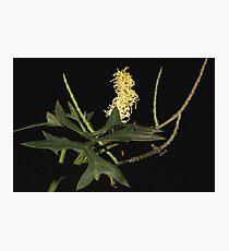 Grevillea flexuosa Photographic Print