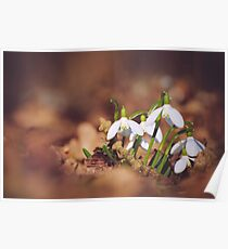 Bunch of Snowdrop Flowers Poster