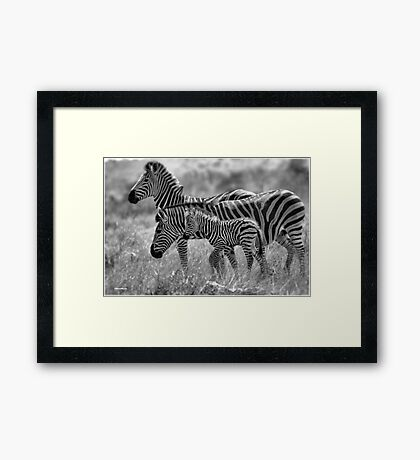ZEBRA FAMILY IN BLACK & WHITE -  BURCHELL'S ZEBRA – Equus burchelli – Bontkwagga Framed Print